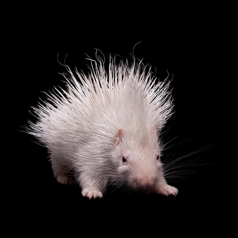 Albino indian crested Porcupine baby on black backgrond. Albino indian crested Porcupine baby, Hystrix indica, isolated on black background stock photo