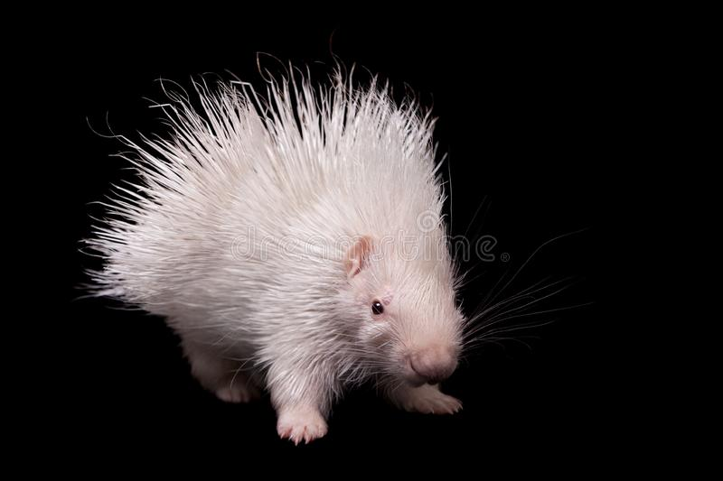 Albino indian crested Porcupine baby on black backgrond. Albino indian crested Porcupine baby, Hystrix indica, isolated on black background royalty free stock photos