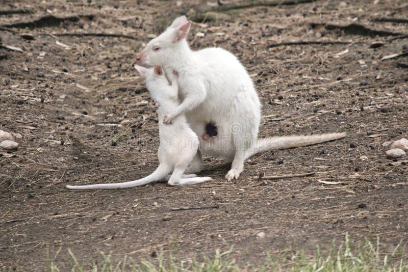 Albino joey Wallaby und Mama lizenzfreies stockbild