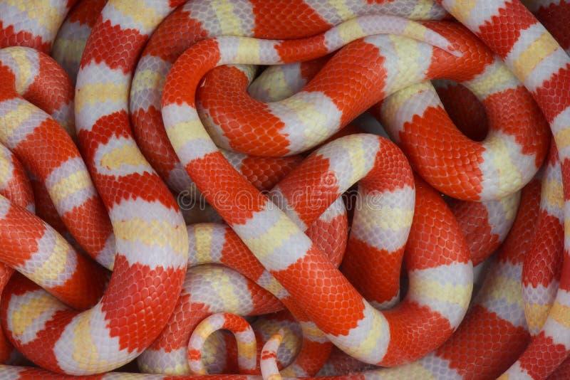 albino kingsnakes στοκ φωτογραφίες