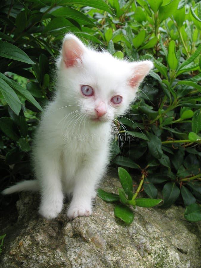 Albino kitten royalty free stock photography