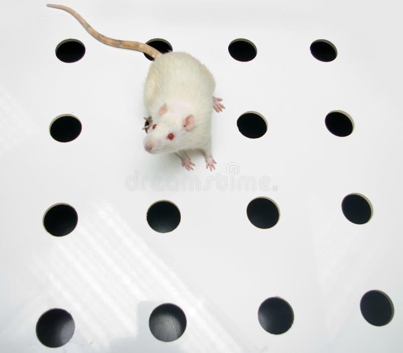 Albino laboratory rat looking on hole board stock photography