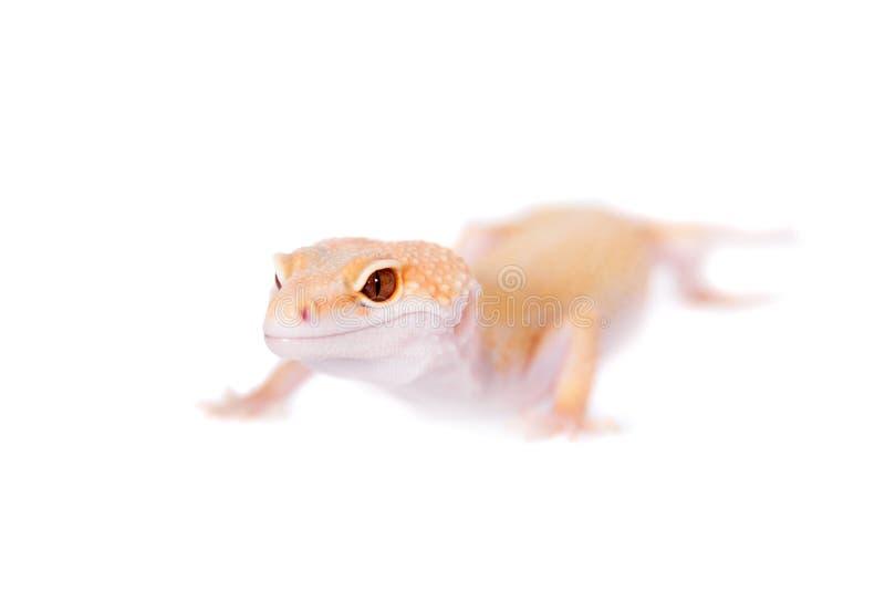 Albino Leopard Gecko en un fondo blanco imagenes de archivo