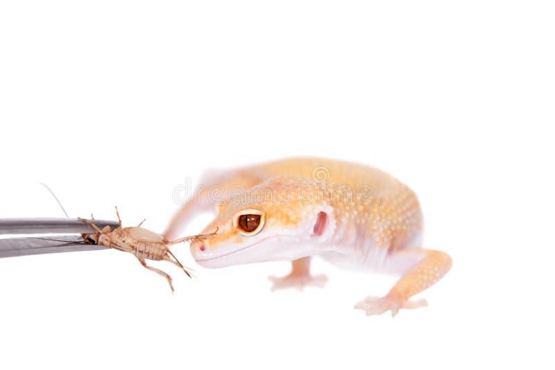 Albino Leopard Gecko en un fondo blanco fotografía de archivo libre de regalías
