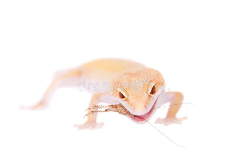 Albino Leopard Gecko en un fondo blanco fotos de archivo libres de regalías