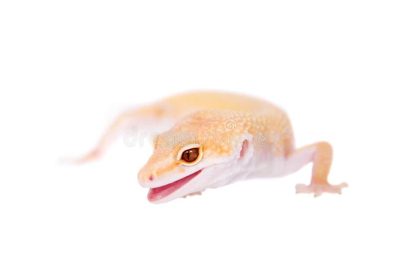 Albino Leopard Gecko en un fondo blanco fotos de archivo