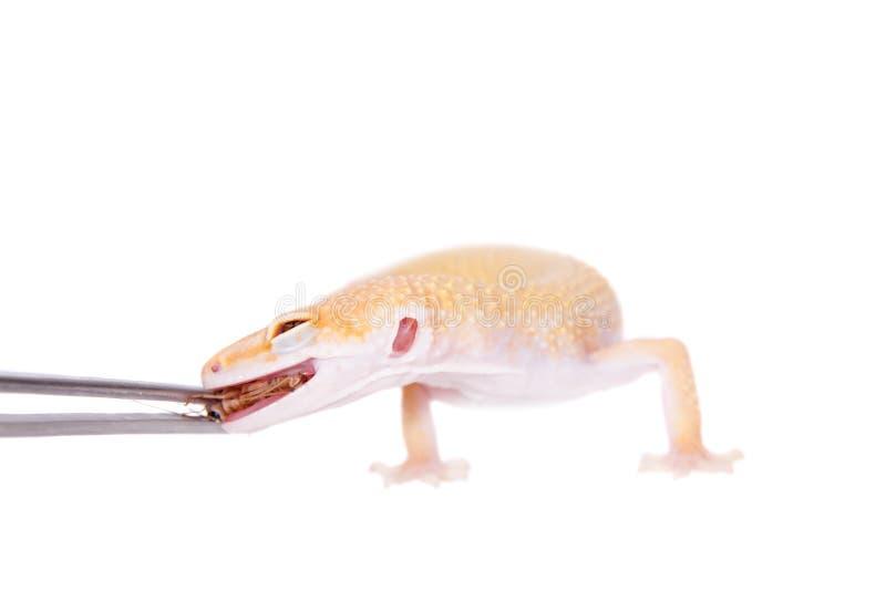 Albino Leopard Gecko en un fondo blanco imagen de archivo