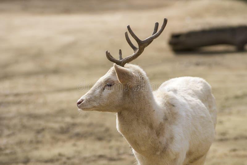 Albino Male des cerfs communs affrichés en été image stock