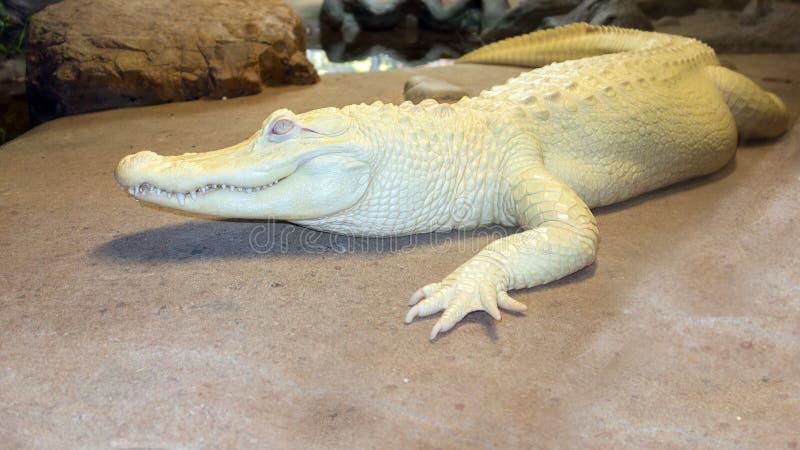 Albino Mississippian Alligator stockfotos