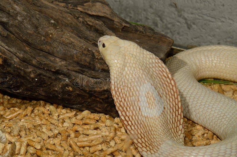 Albino Monocellate Cobra (Naja Kaouthia) Stock Image ...Naja Kaouthia Suphanensis