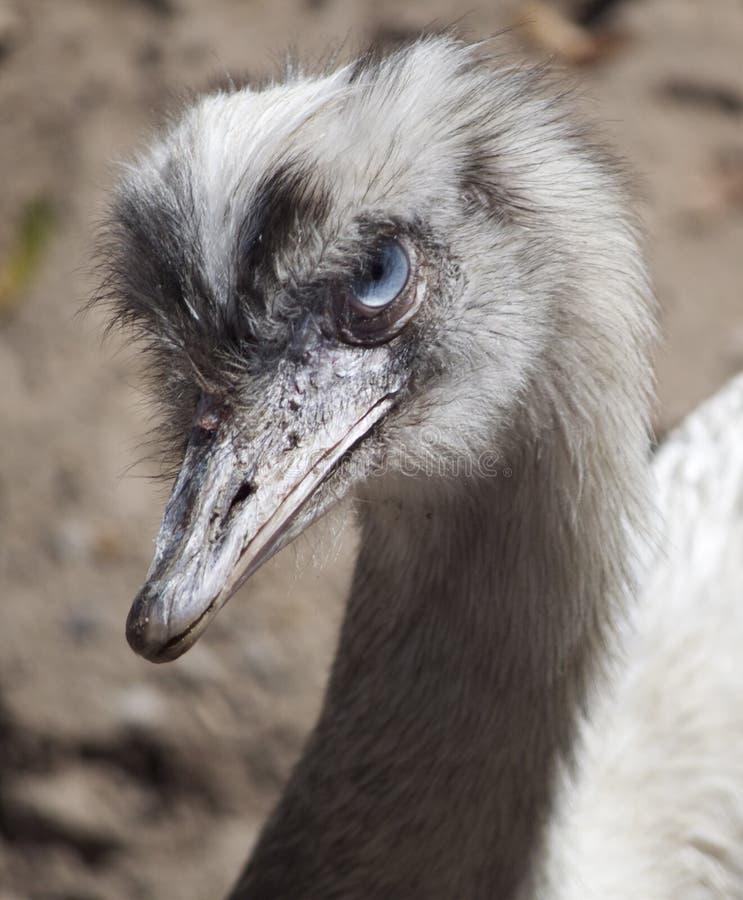 Albino Ostrich fotografía de archivo libre de regalías