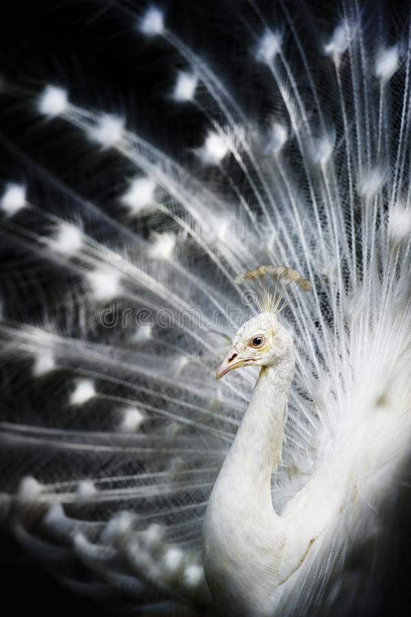 albino peacock λευκό στοκ εικόνα με δικαίωμα ελεύθερης χρήσης