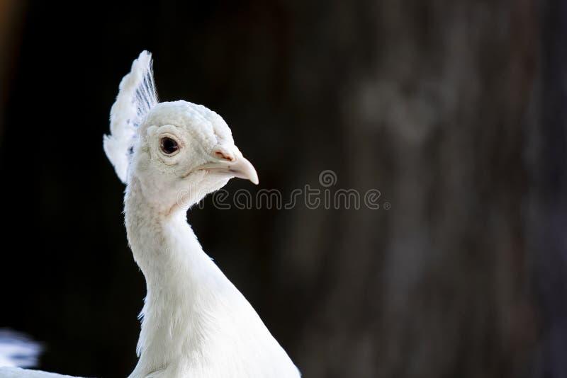 Albino peacock closeup with eye facing viewer. royalty free stock photography