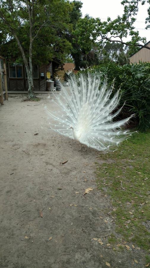 Albino Peacock con las plumas de cola blanca separ? grande buscando a un compa?ero foto de archivo
