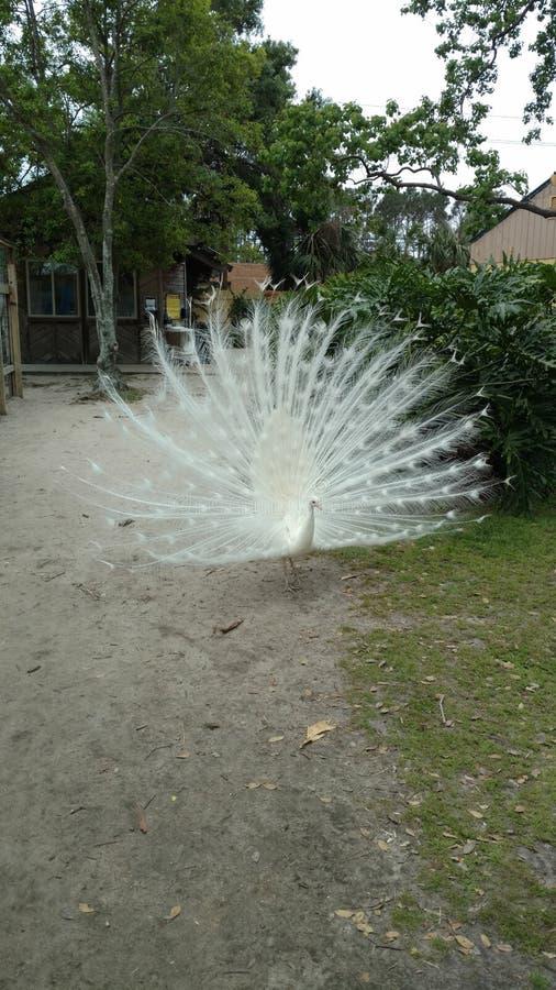 Albino Peacock con las plumas de cola blanca separ? grande buscando a un compa?ero fotografía de archivo