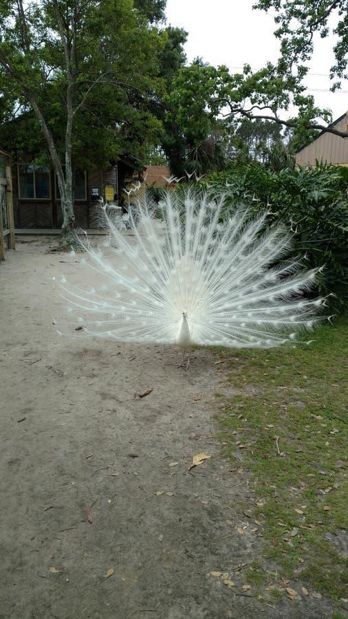 Albino Peacock con las plumas de cola blanca separ? grande buscando a un compa?ero imágenes de archivo libres de regalías