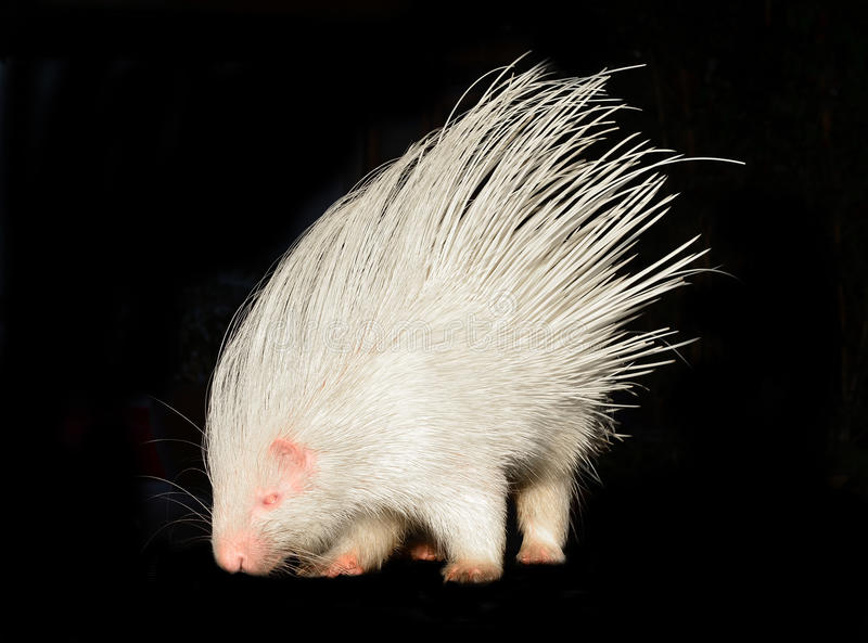 Albino porcupine isolated. On black background royalty free stock photography
