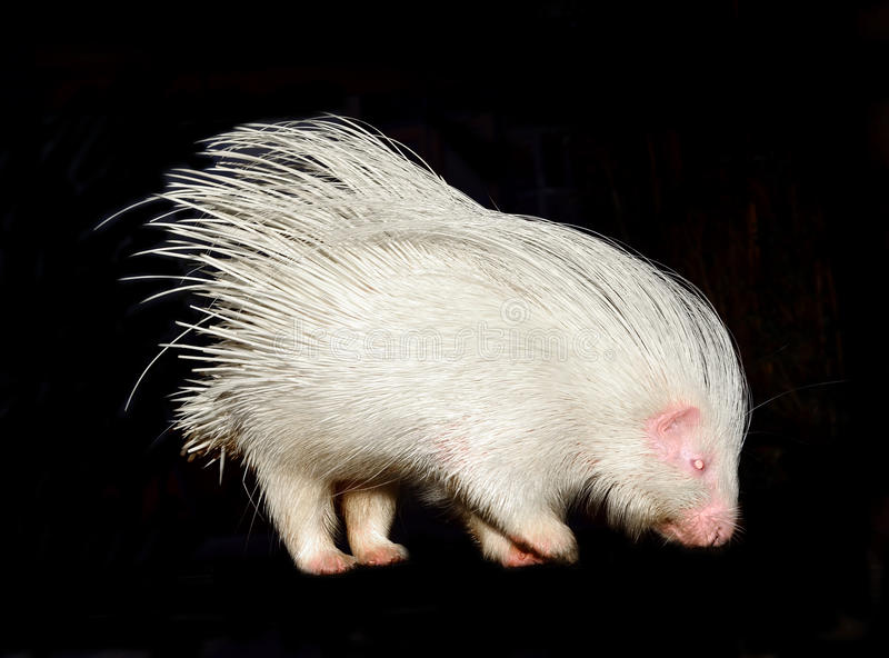 Albino porcupine isolated. On black background royalty free stock image
