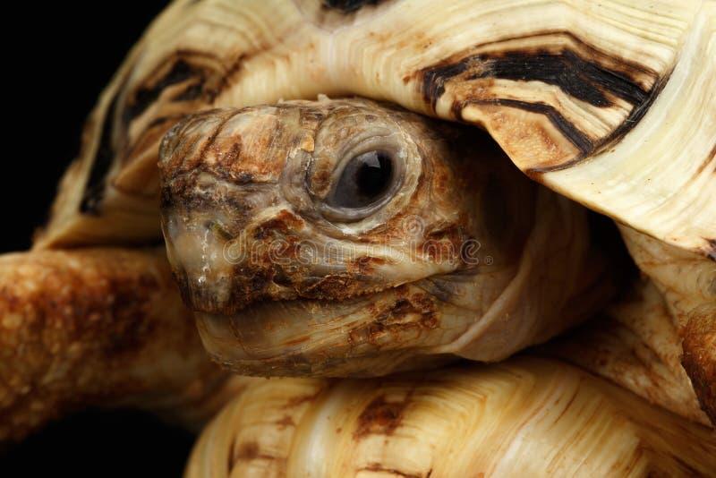 Albino principal da tartaruga do leopardo do close up, pardalis de Stigmochelys, shell branco, fundo preto isolado fotos de stock royalty free