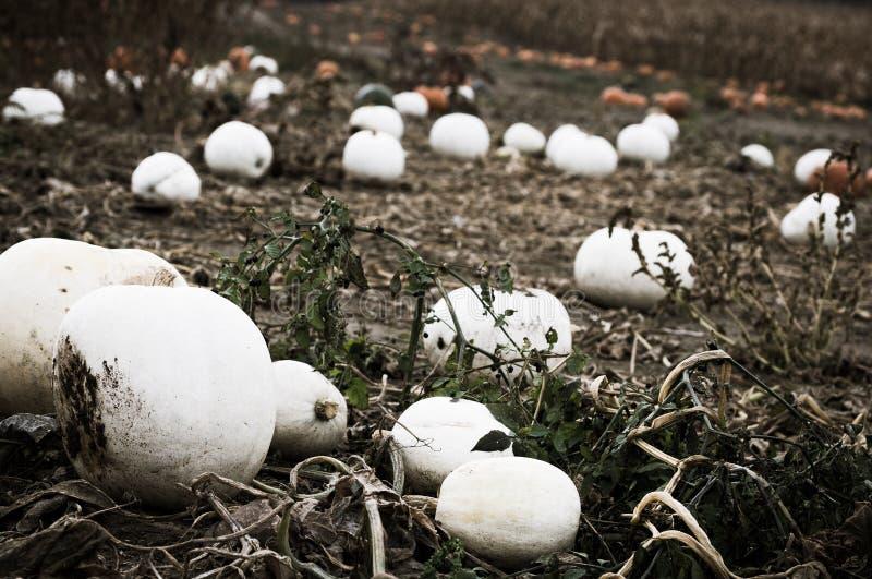 Albino Pumpkins imágenes de archivo libres de regalías