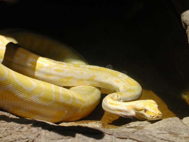 Albino Python stock image