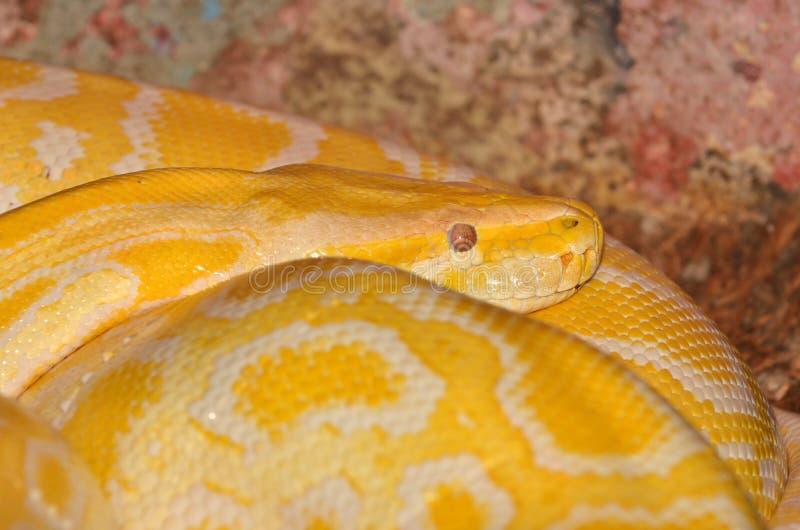 Download Albino Python stock photo. Image of serpent, python, asia - 24335564