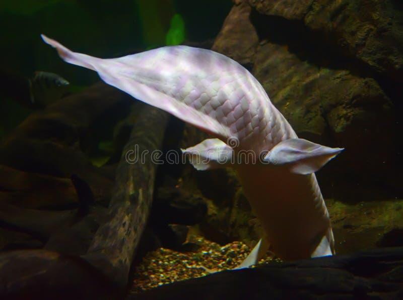 Albino Queensland Lungfish die weg zwemmen royalty-vrije stock foto's