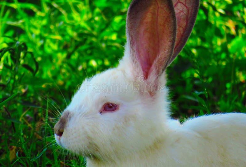 Albino rabbit stock image