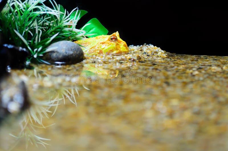 Ornata di Ceratophrys dell'albino (rana di Pacman) immagine stock