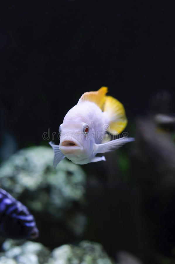 Albino Redfin Zebra African Cichlid stock photography