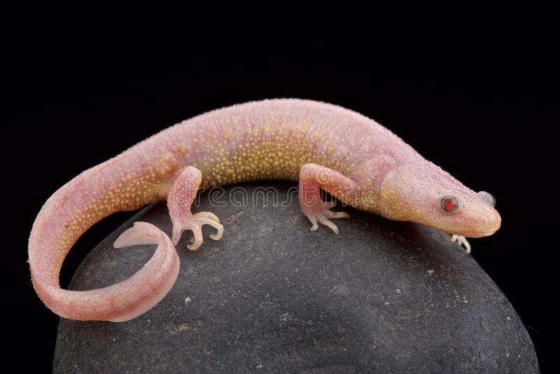 Albino Ribbed-Newt (Pleurodeles-waltl) lizenzfreie stockfotografie