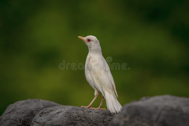 Albino Robin en punto de la corona imágenes de archivo libres de regalías