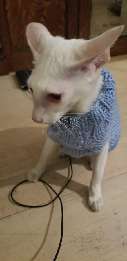 albino siamés foto de archivo