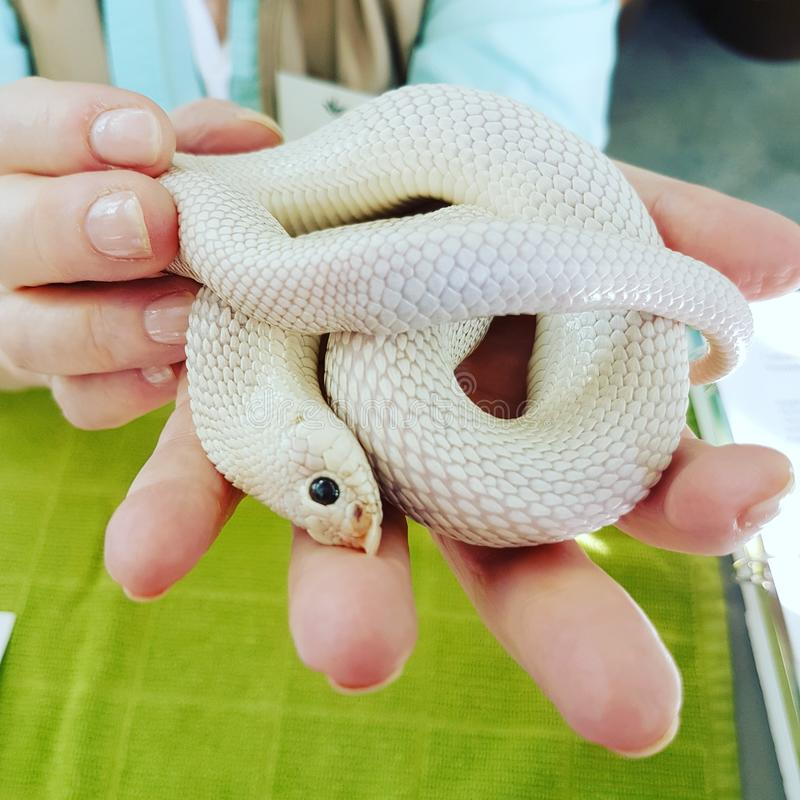 Albino Snake image libre de droits
