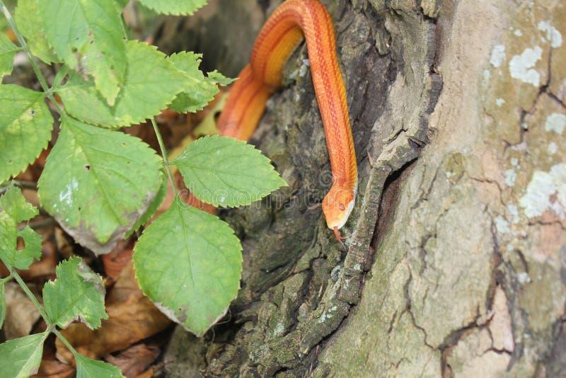 Albino Snake - serpent d'herbe - Ringelnatter sur l'arbre photos stock