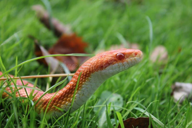 Albino Snake - serpent d'herbe - Ringelnatter sur l'herbe photo libre de droits