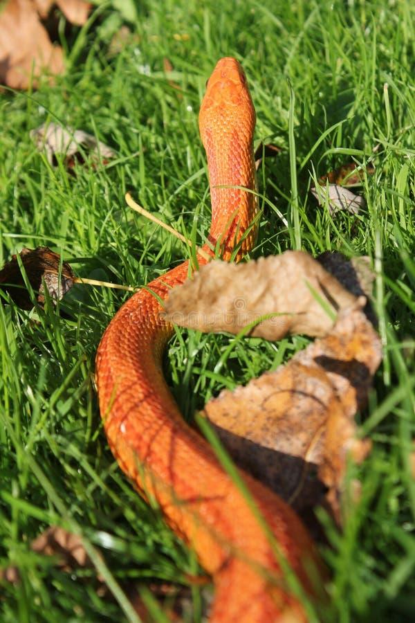 Albino Snake - serpent d'herbe - Ringelnatter sur l'herbe photo stock