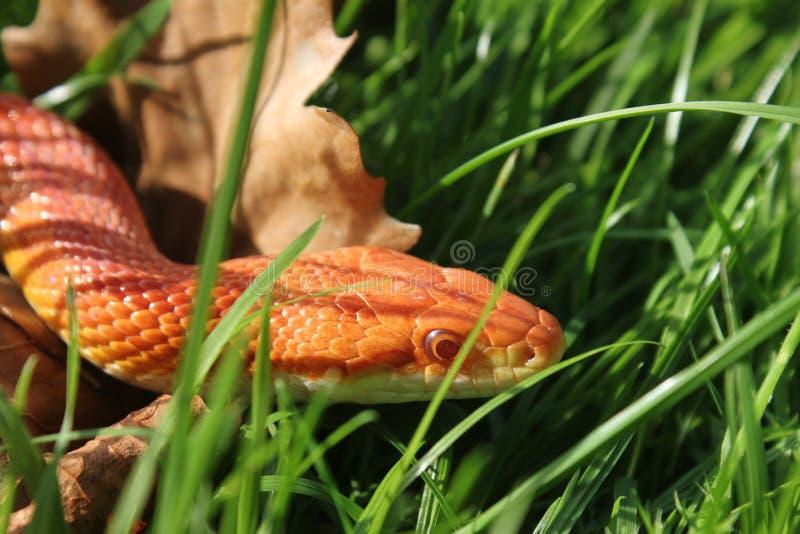Albino Snake - serpent d'herbe - Ringelnatter sur l'herbe image stock