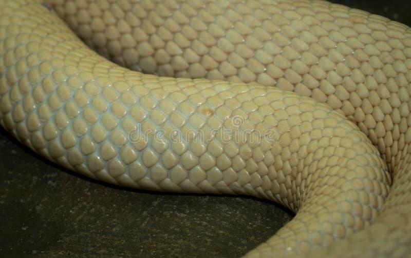 Albino Snake Skin photographie stock
