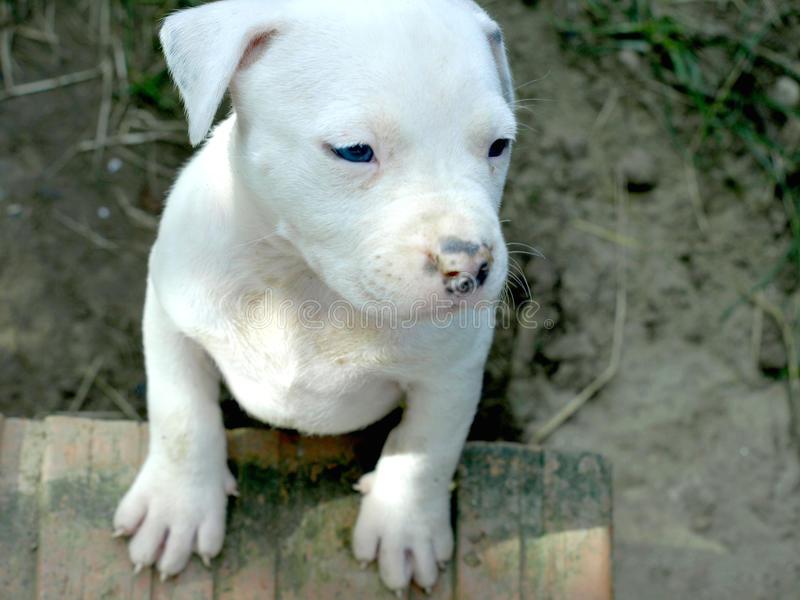 Albino stafford puppy royalty free stock images