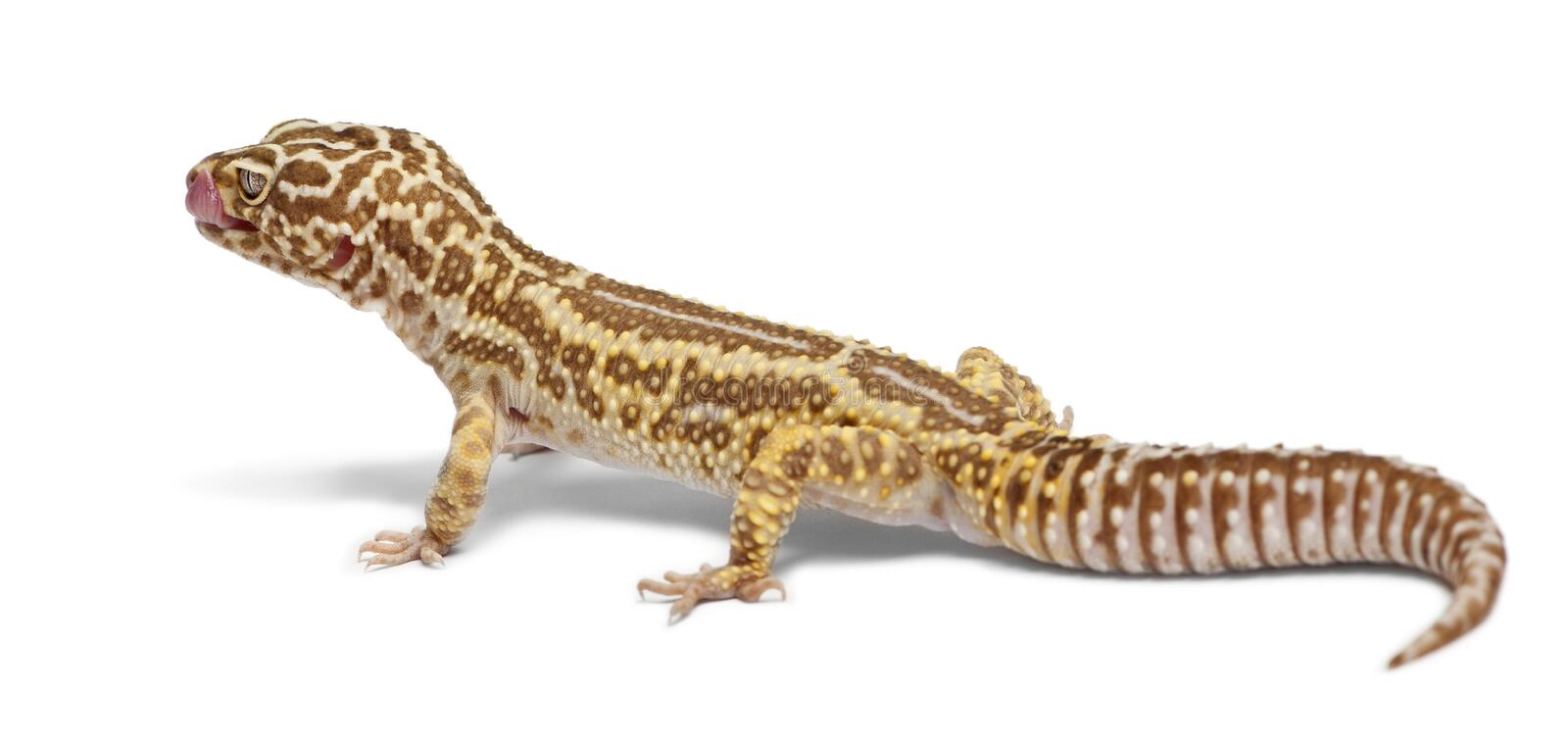 Albino Striped Leopard gecko, Eublepharis. Macularius, in front of white background stock photo