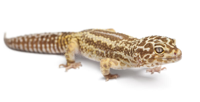Albino Striped Leopard gecko, Eublepharis. Macularius, in front of white background stock image