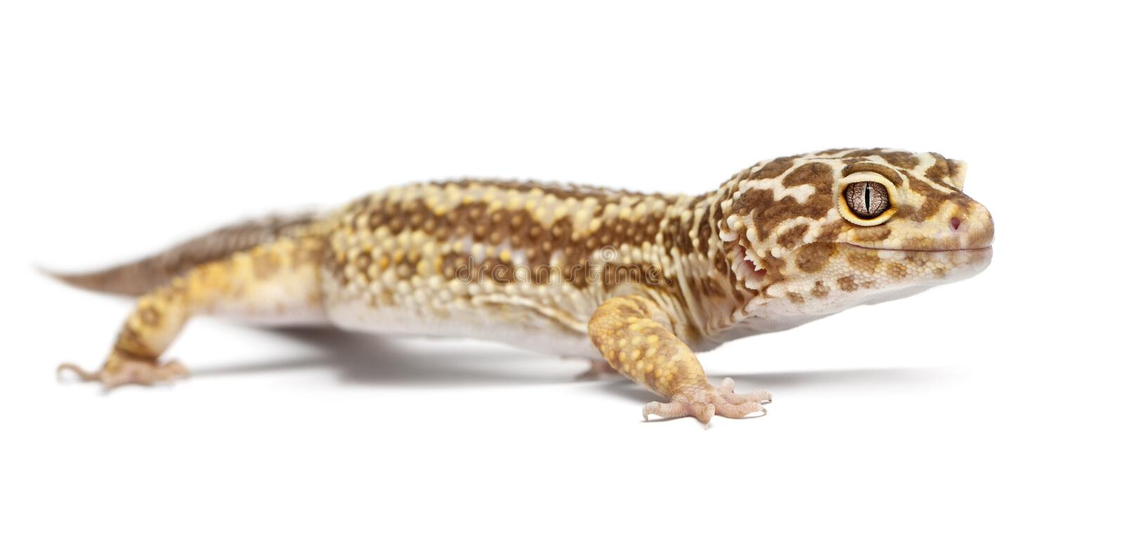 Albino Striped Leopard gecko, Eublepharis macularius. In front of white background royalty free stock images