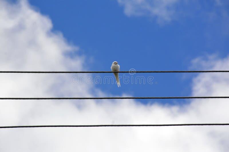 Albino Swallow - bello sorso bianco raro immagini stock