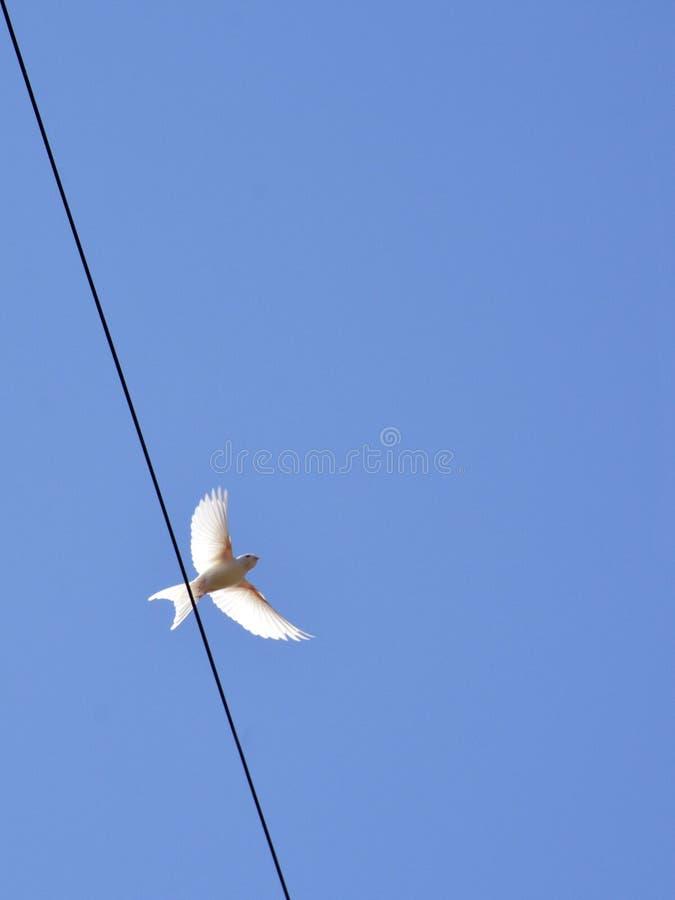 Albino Swallow - sorso bianco raro fotografia stock