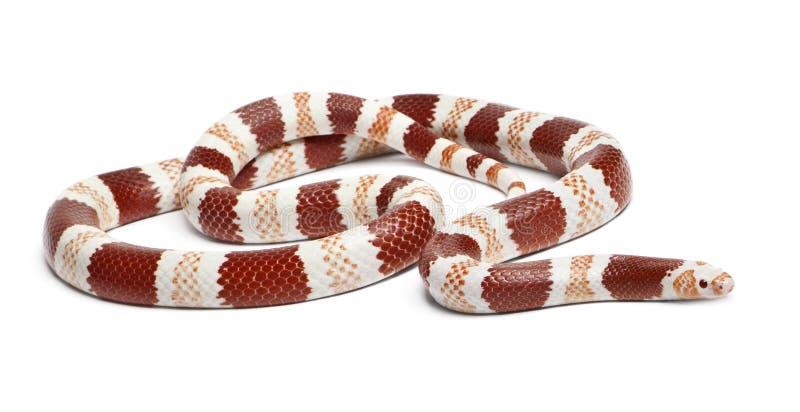 Albino Tangerine Honduran φίδι γάλακτος στοκ εικόνα
