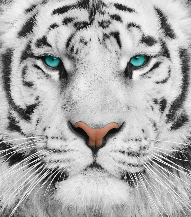 Albino tiger with beautiful turquoise eyes stock photos