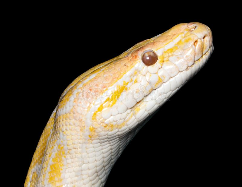 Albino tiger python Python molurus isolated on black stock photography