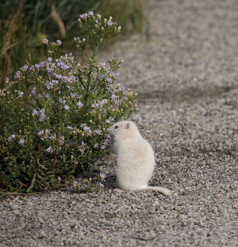 Albino Uintah Ground Squirrel Eating-Aster-Blumen lizenzfreie stockbilder