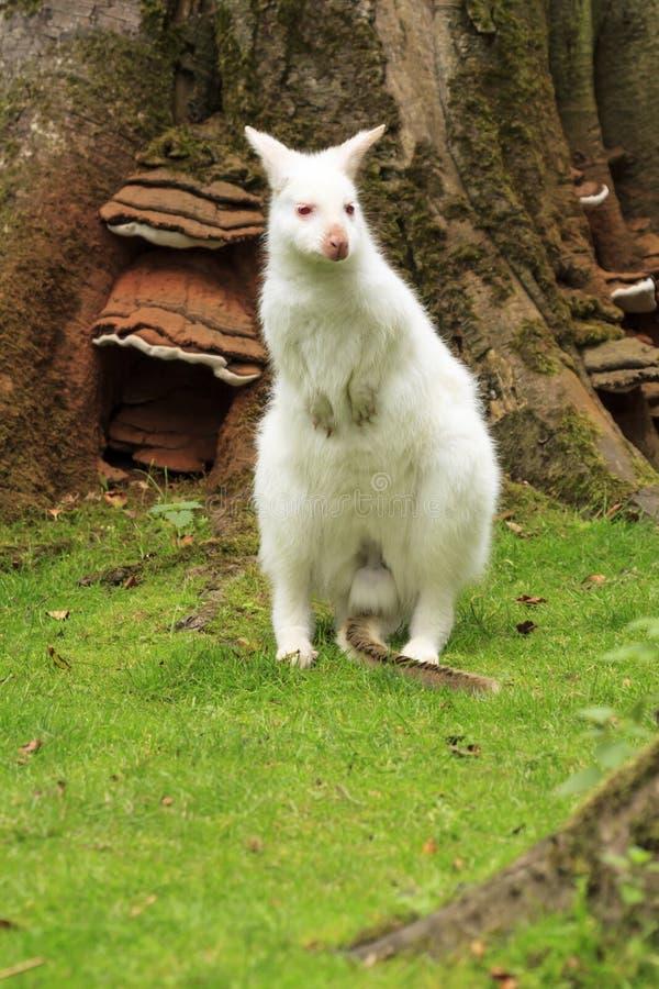 Albino Wallaby royalty-vrije stock fotografie